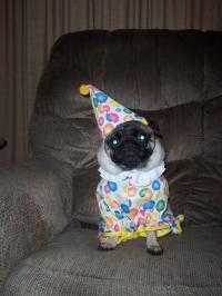 Dixie The Pug Clown